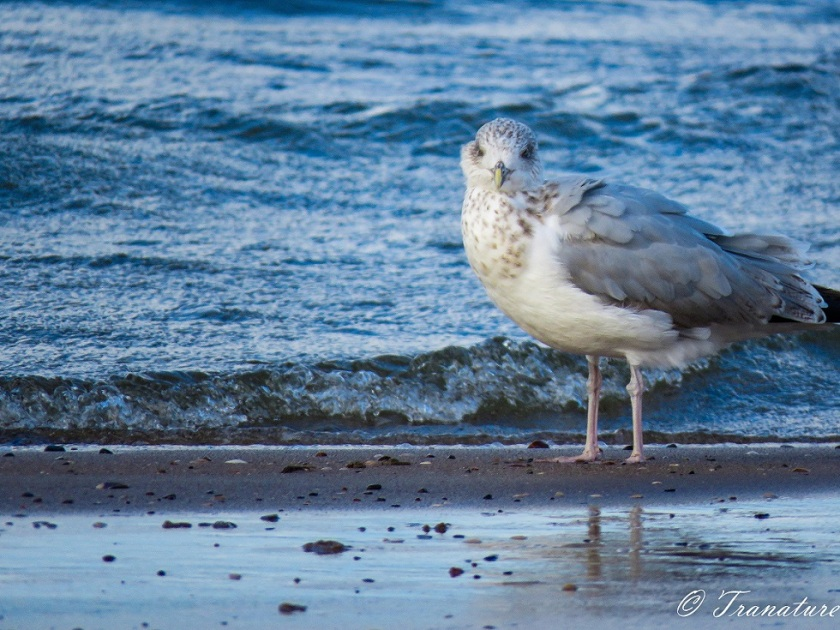 a herring gull on tidal sands looking straight at the camera