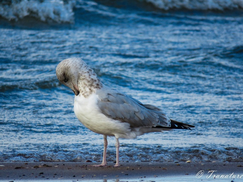 close up shot of herring gull preening on tidal sands, rolling waves behind him