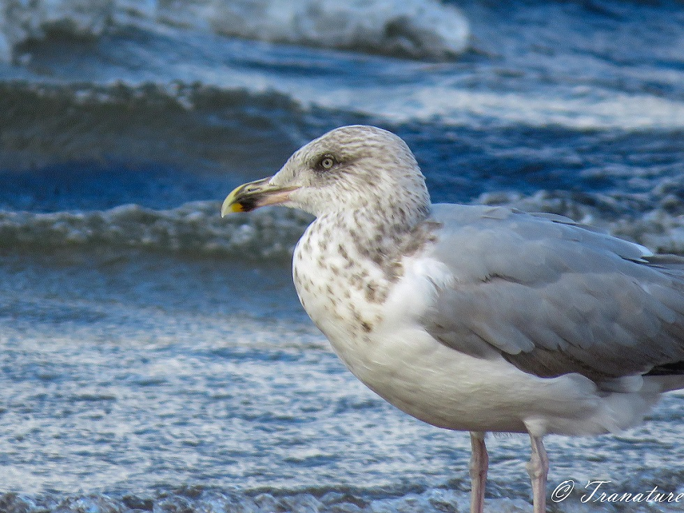 close up shot of herring gull looking smart after his preening session