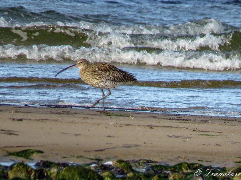 a curlew striding along the shoreline in front of rolling waves