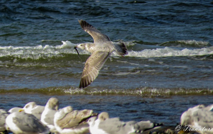 a juvenile herring gull flying above the waves past a flock of adults on the beach
