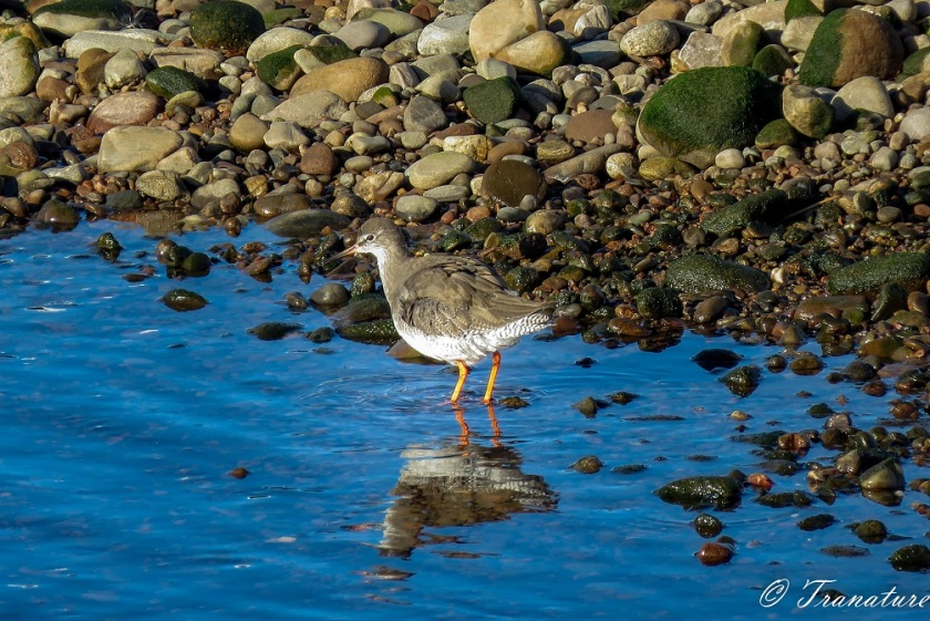 a redshank wading through the river at low tide beside the stones