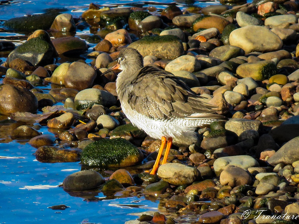 close-up shot of a redshank standing by the river at low tide between the stones