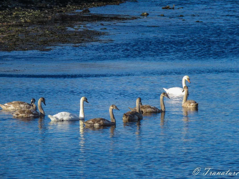close up shot of swan parents swimming down the river with seven fully grown cygnets