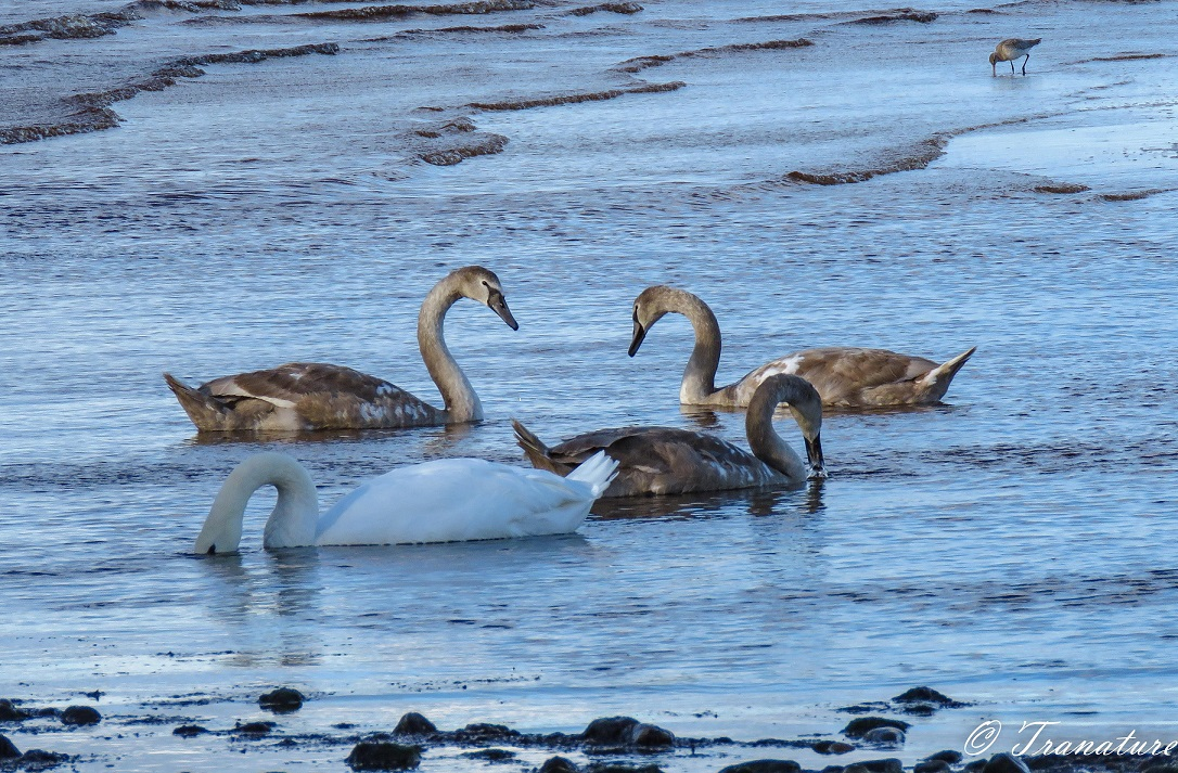 three fully grown cygnets feeding with their mother on the seashore