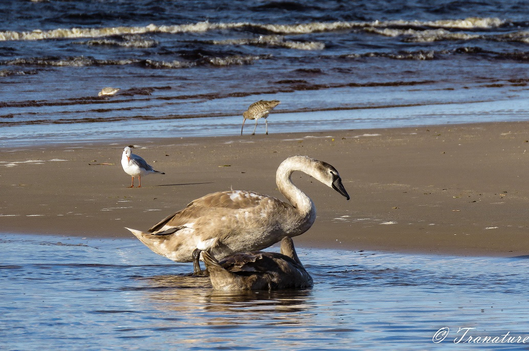 two fully grown cygnets by a sandbar with a seagull and a curlew in the background