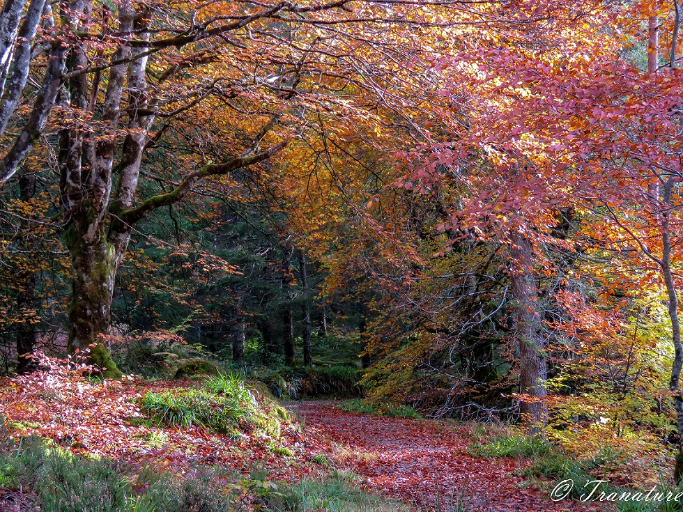 beech tree in Autumn colours, branches forming an arch over the woodland path
