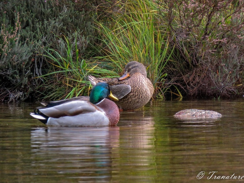 a male and female mallard duck preening together at the edge of the loch