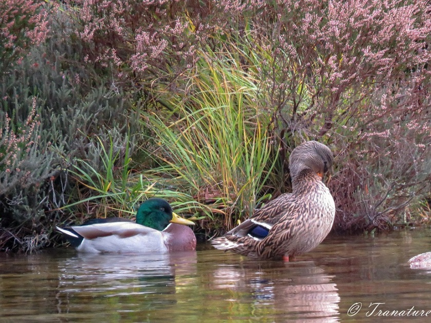 a female mallard preening herself beside a male mallard at the edge of the loch