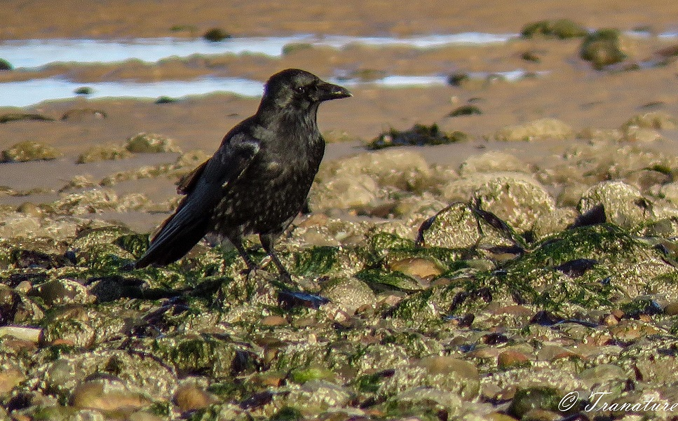 close up of a young crow on seaweed mixed with tidal sand