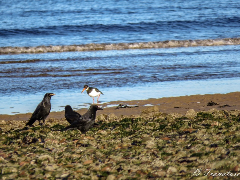 an oystercatcher wading along the shoreline and three crows in the foreground on stones with sand and seaweed