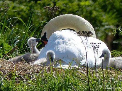 on hatching day - three cygnets with their pen