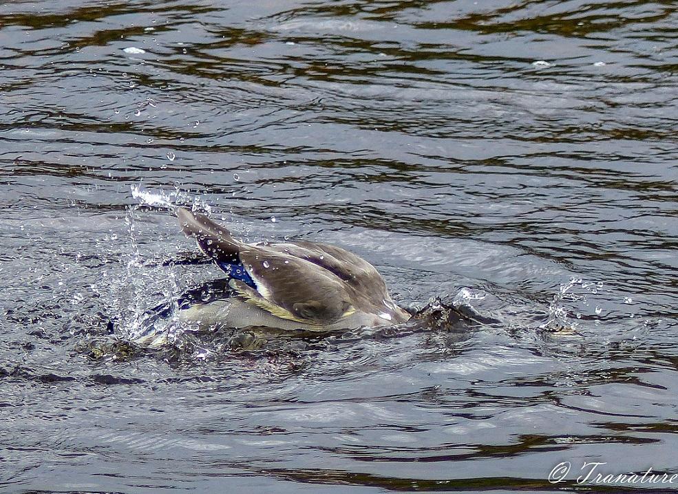 a mallard duck bathing, head first in the river
