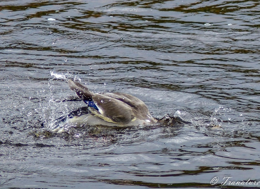 a mallard duck bathing, head first in the river