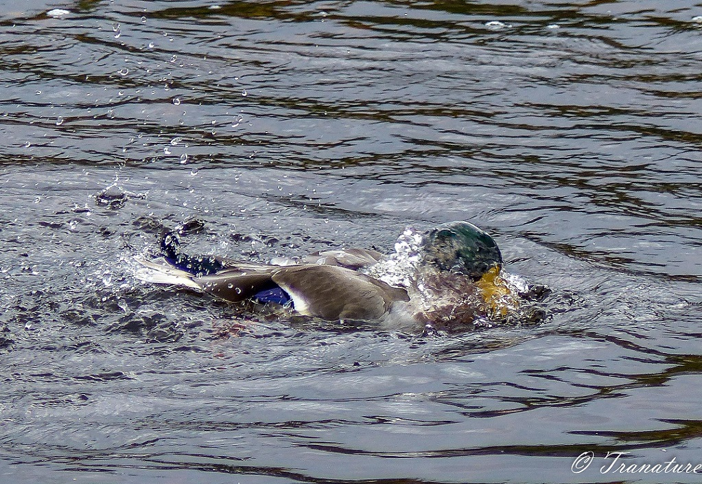 close up of bathing duck resurfacing from the water