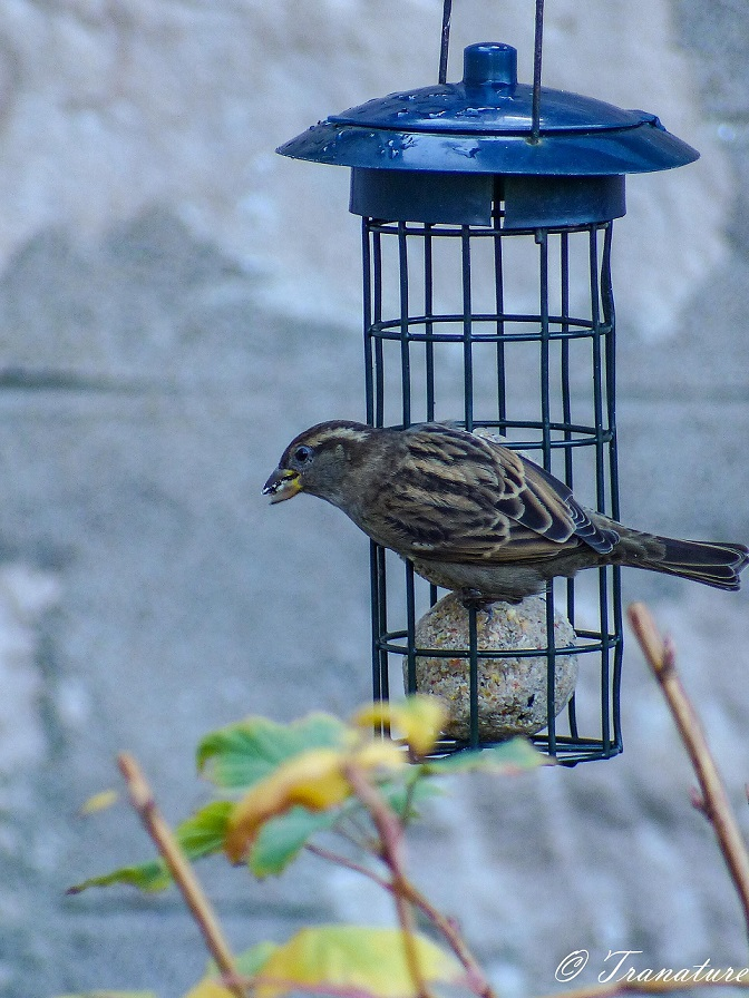a female sparrow hanging on to a birdfeeder with seed in her beak