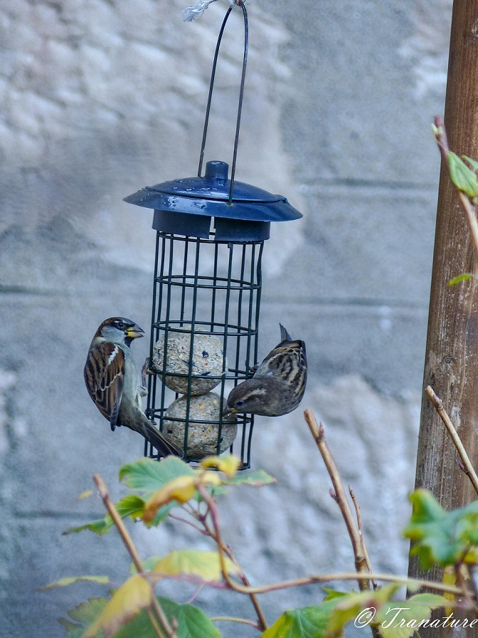 a male and female sparrow hanging off a birdfeeder, eating from suet balls