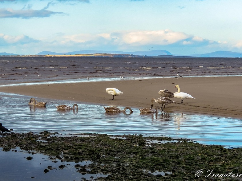 a swan family feeding and preening on and beside a sand bar