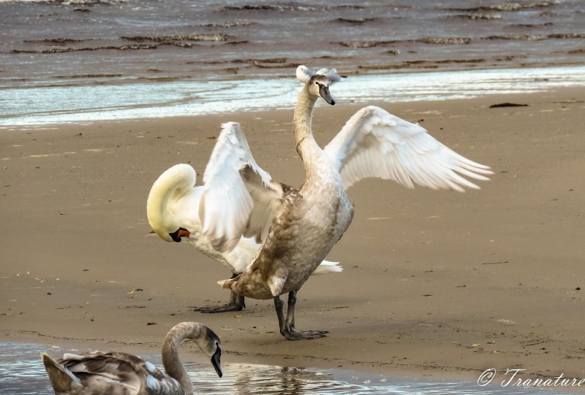a cygnet spreads his wings on the sandbar, his mother is preening behind him