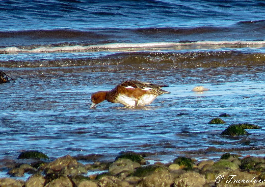 a female wigeon feeding on seaweed in the low surf