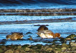 close up of three wigeon feeding on seaweed at low tide