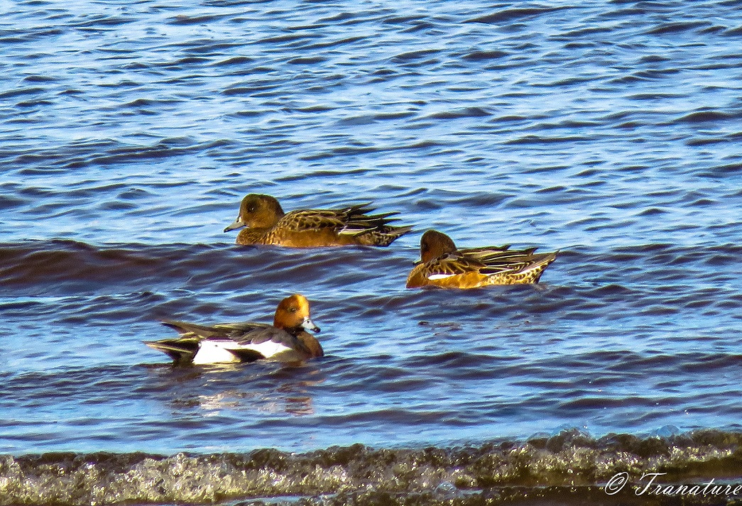 two female and one male wigeon basking in the sun on the water