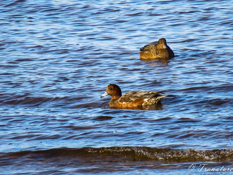 two female wigeon basking in the sun on the water