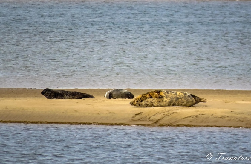 three seals basking on a sandbar in Loch Fleet