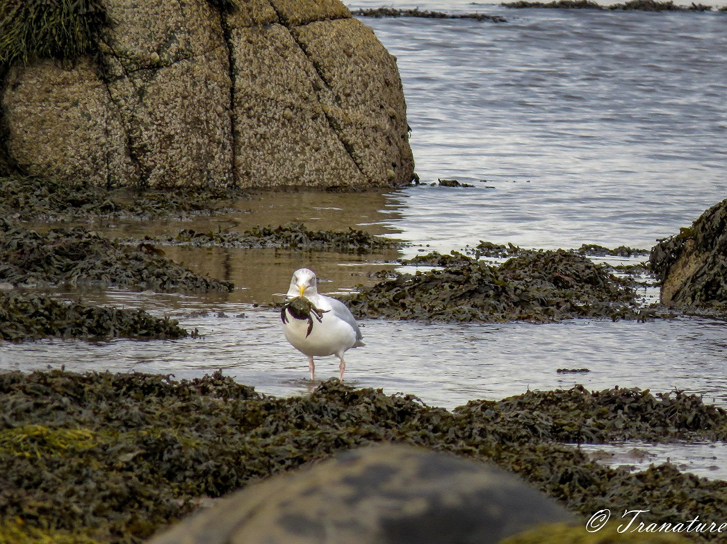 a seagull with a crab in his beack looking straight at the camera
