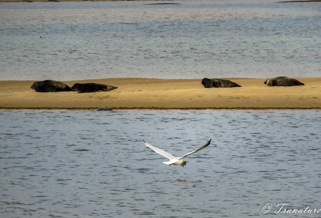 a seagull flies over the water with a crab in his beak, while four seals slumber on a sandbar