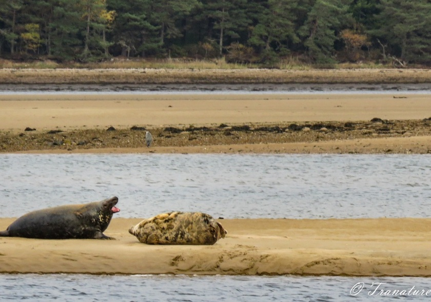 a male seal barking next to a snoozing sleeping seal on a sandbar, a heron stands across the water