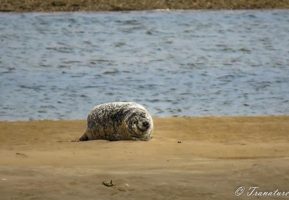a seal snoozing on a sandbar with a big smile on her face