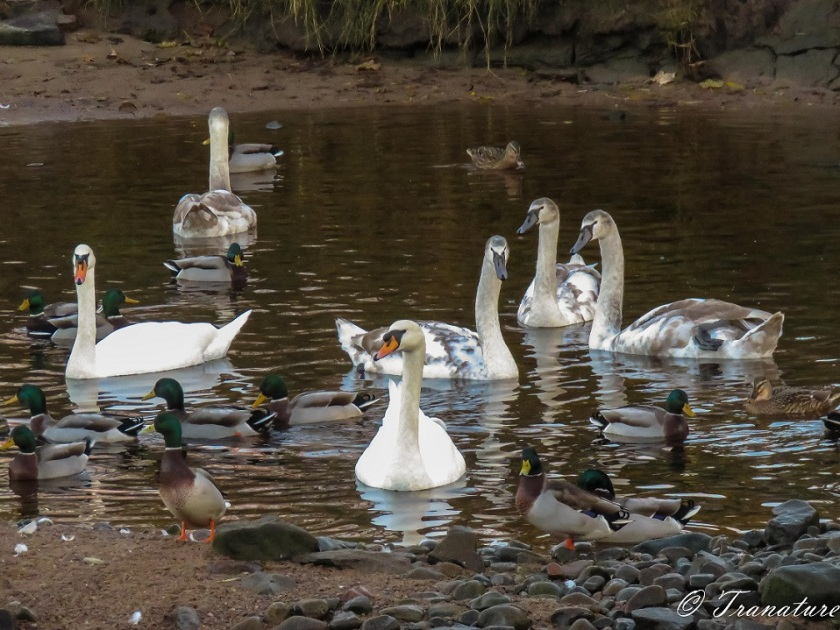 swan parents with four cygnets and several mallard ducks on the river