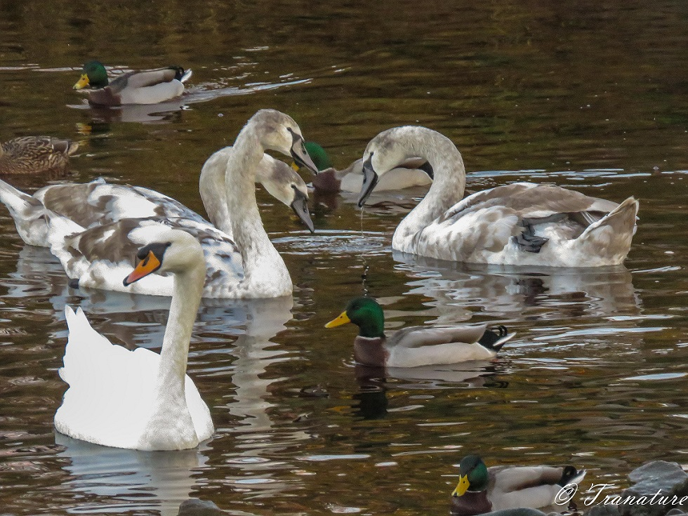 three cygnets with their father in the foreground and a few mallards on the river