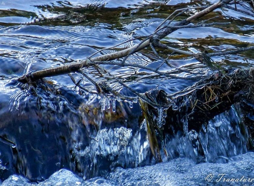 close up shot of icicles handing from fallen branches across the flowing burn