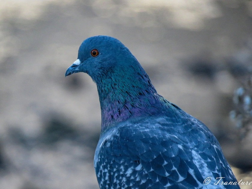 close up shot of a blue pigeon in evening light