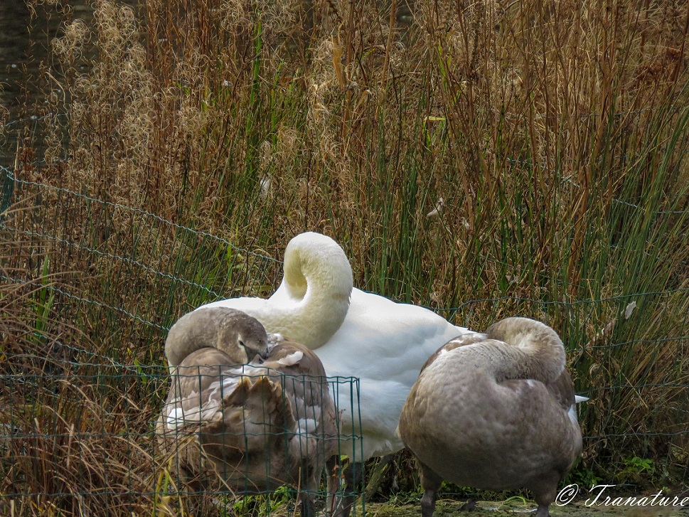 a pen and two of her cygnets sleeping on a small island