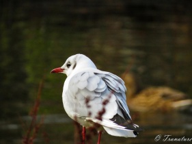 a black-headed gull balancing on a weathered post beside a pond