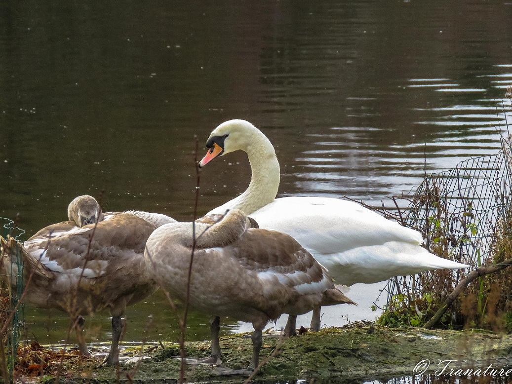 a pen and two of her cygnets resting on a small island in the pond