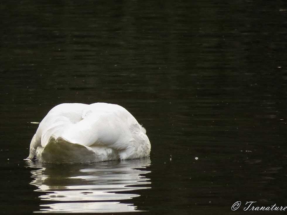 close up shot of a swan from behind, his head and neck under water