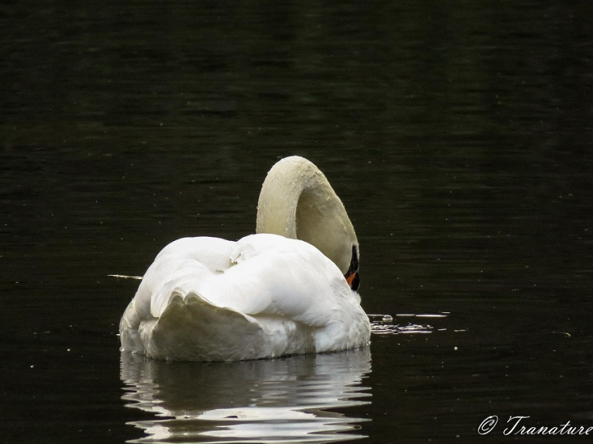 close up shot of a swan from behind, his head and neck emerging from the water