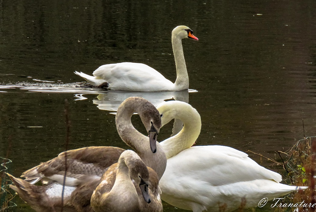 a cob swimming in the pond and the pen and two cygnets in the foreground