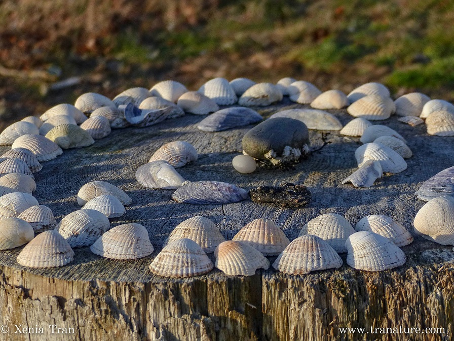 close up shot of spiral seashell inlay on top of tree-stump table