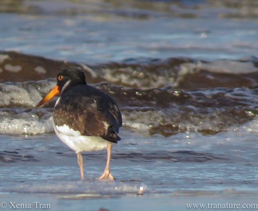 close up shot of an oystercatcher wading into the sea