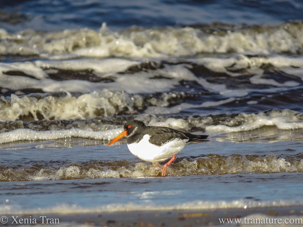 side-on close-up shot of an oystercatcher wading through the shallows