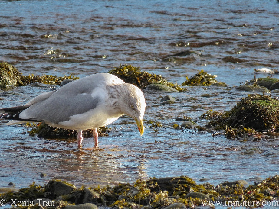 a herring gull feeding in the river at low tide