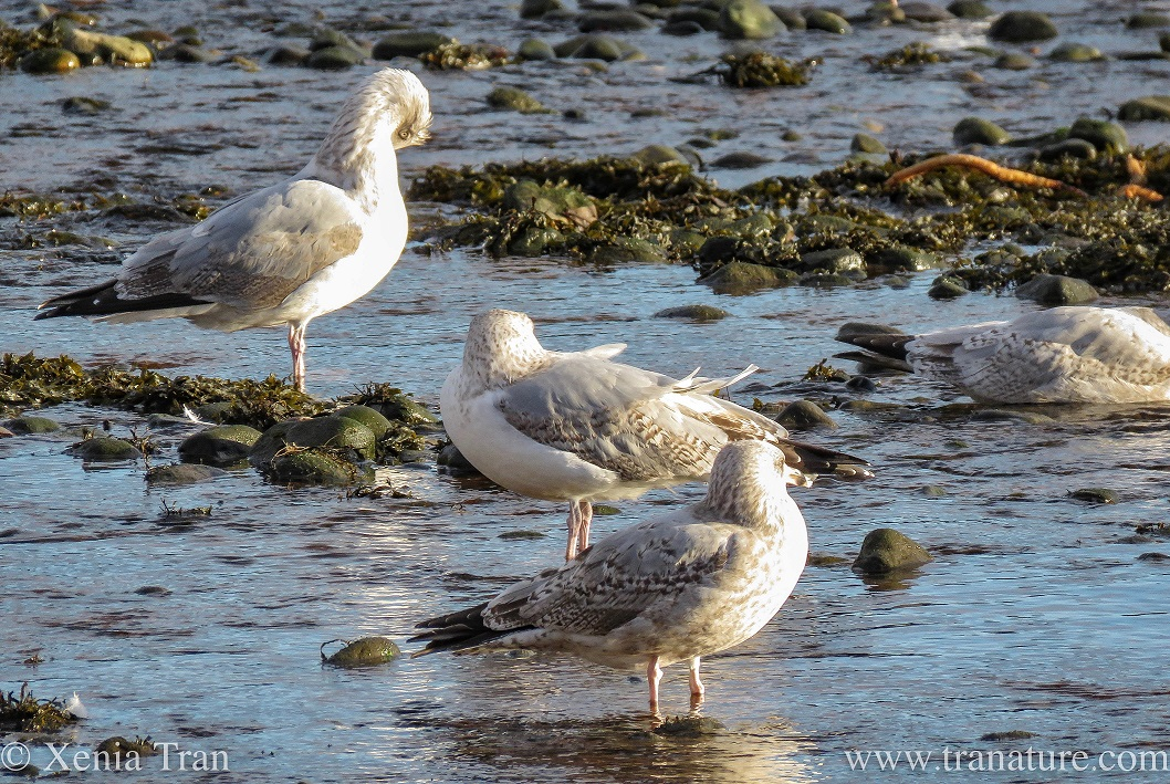 An adult and two juvenile seagulls preening themselves by the river
