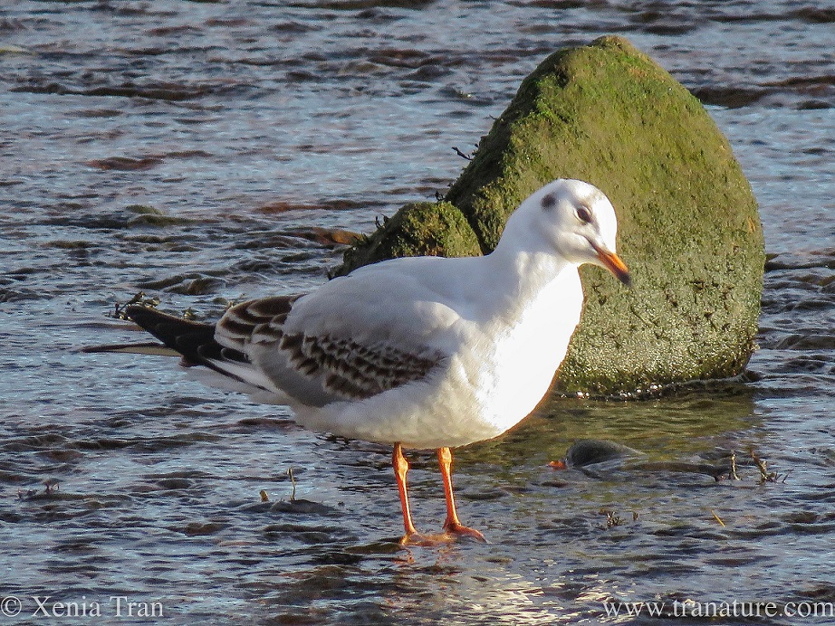 a blackheaded gull standing in the river and tilting his head at the camera