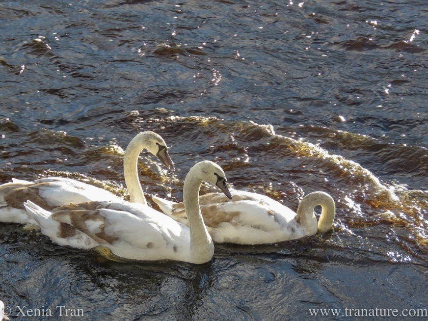 three mature cygnets swimming against the tide on the river