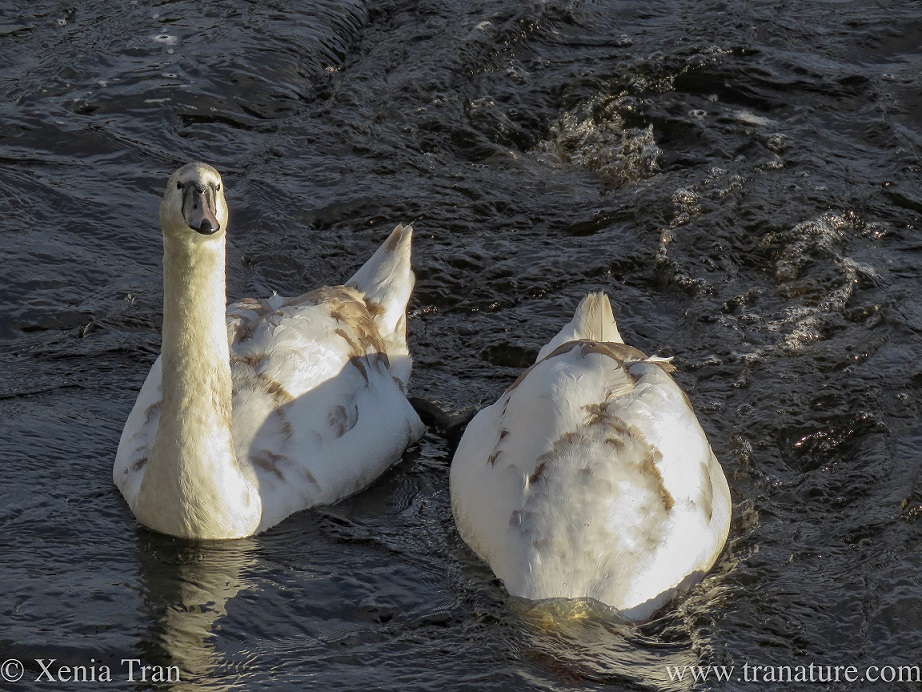 one mature cygnet looks up at the camera whilst his sibling feeds below water